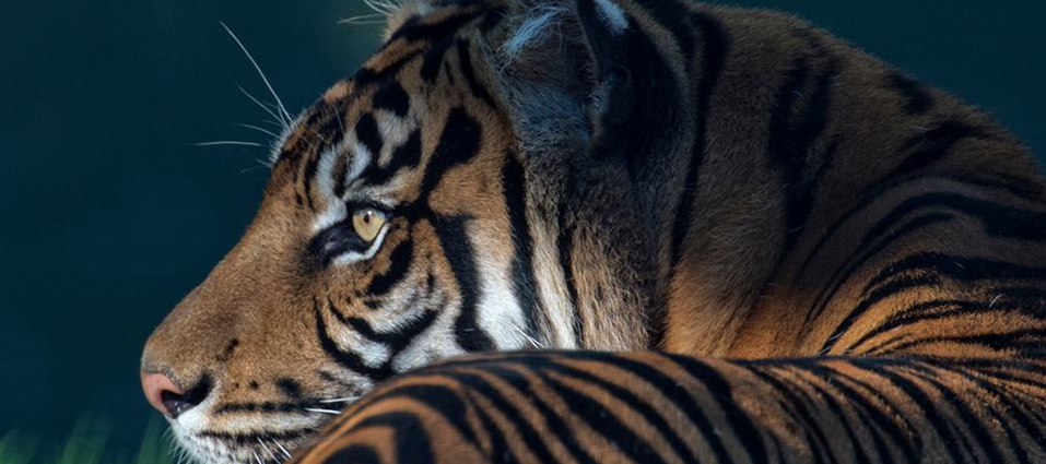header-tiger-test